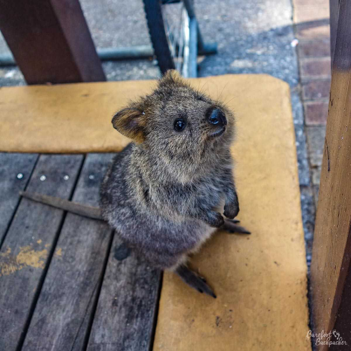A quokka looking cute on Rottnest Island.