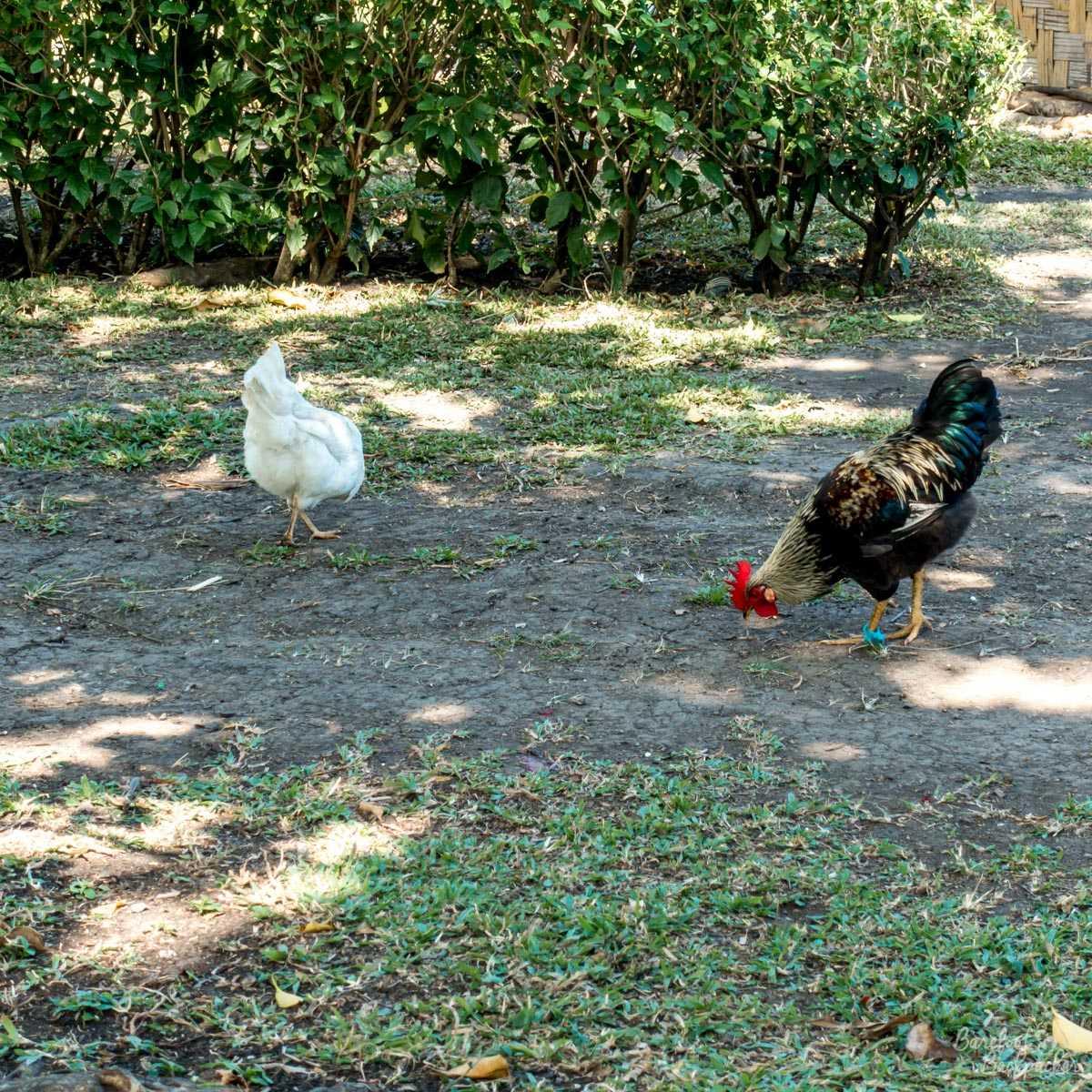 """Chickens"