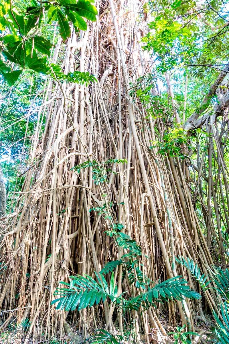 A typical banyan tree, Malekula.