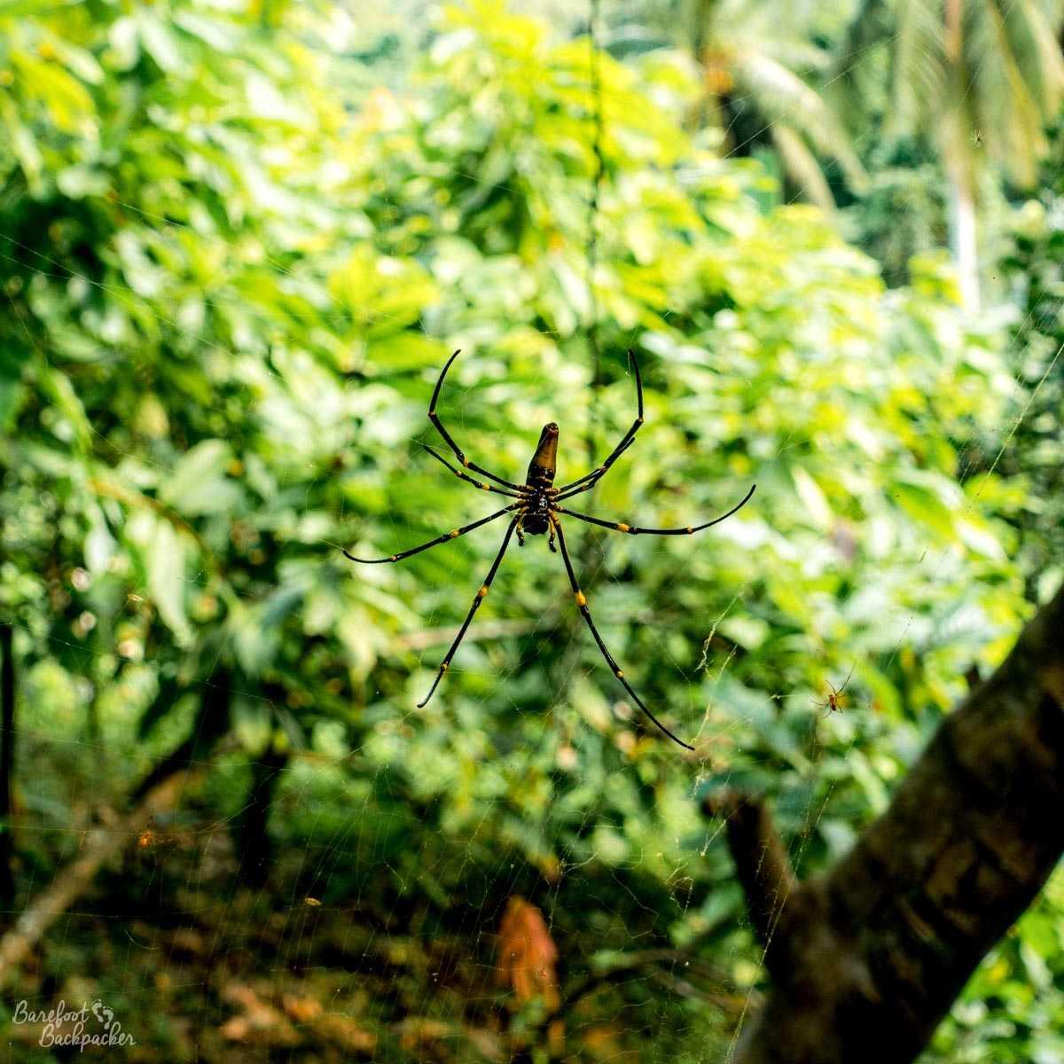 Huge spider, Malekula.