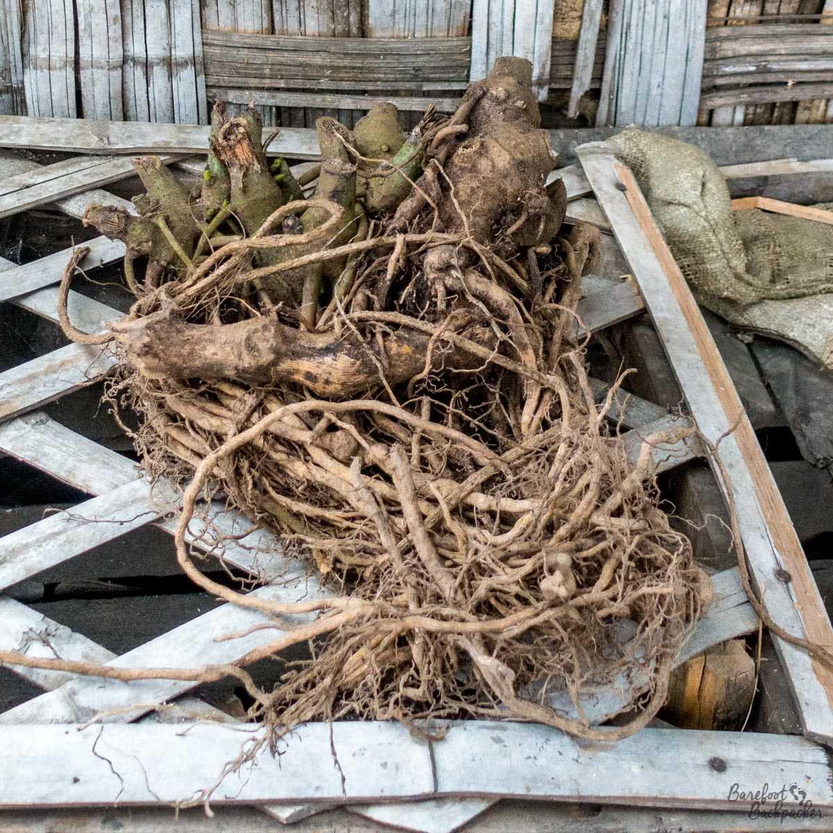Roots of the Kava plant, Ambrym, Vanuatu.