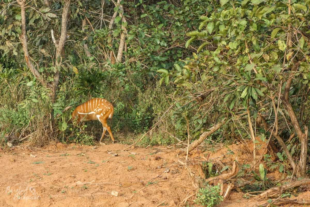 Deer at the roadside in Mole National Park, Ghana