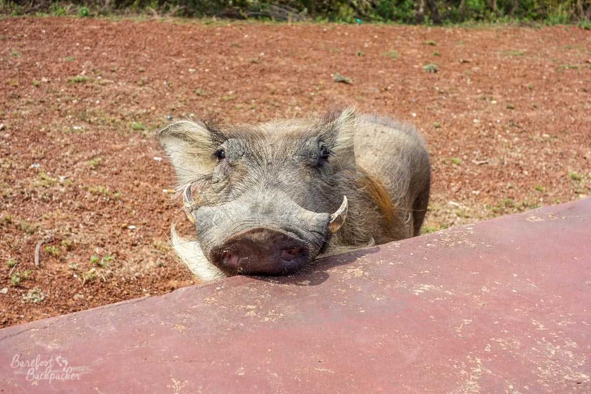 Cheeky warthog peering over the wall at Mole National Park, Ghana