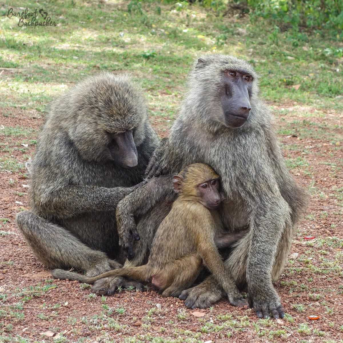 A family of monkeys at Mole National Park, Ghana