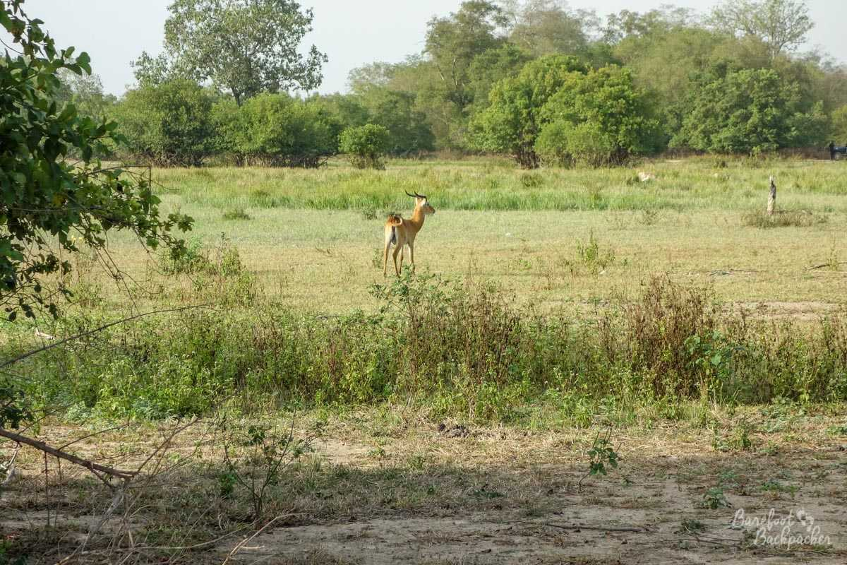 A deer in the fields at Mole National Park, Ghana