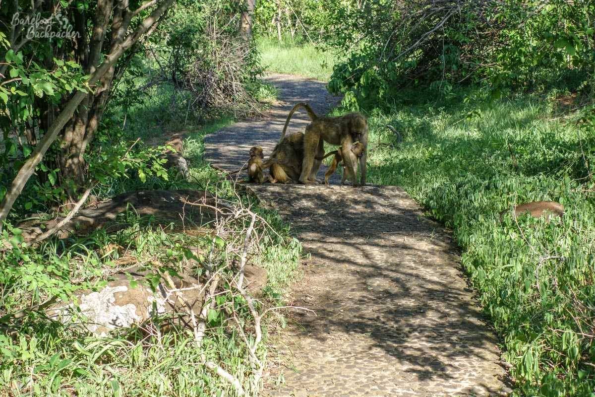 Baboons in the way of the Photographic Path