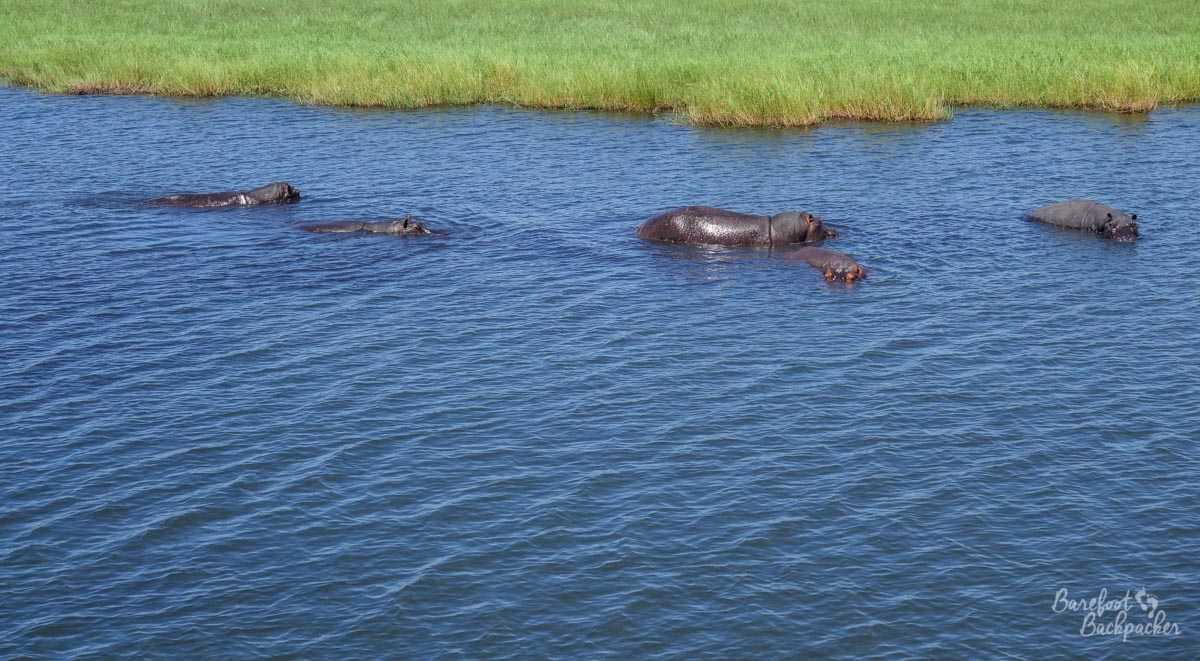 Some hippos in the Chobe River, swimming idly by.