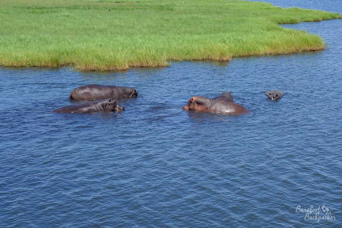 Some hippos in Chobe National Park, playing in the water.