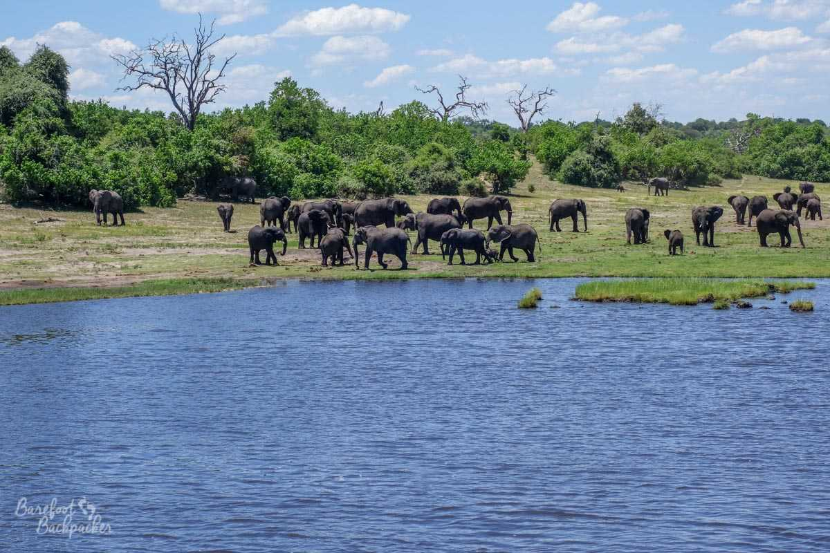 A whole gaggle of elephants on the south side of the Chobe River, including families with babies.