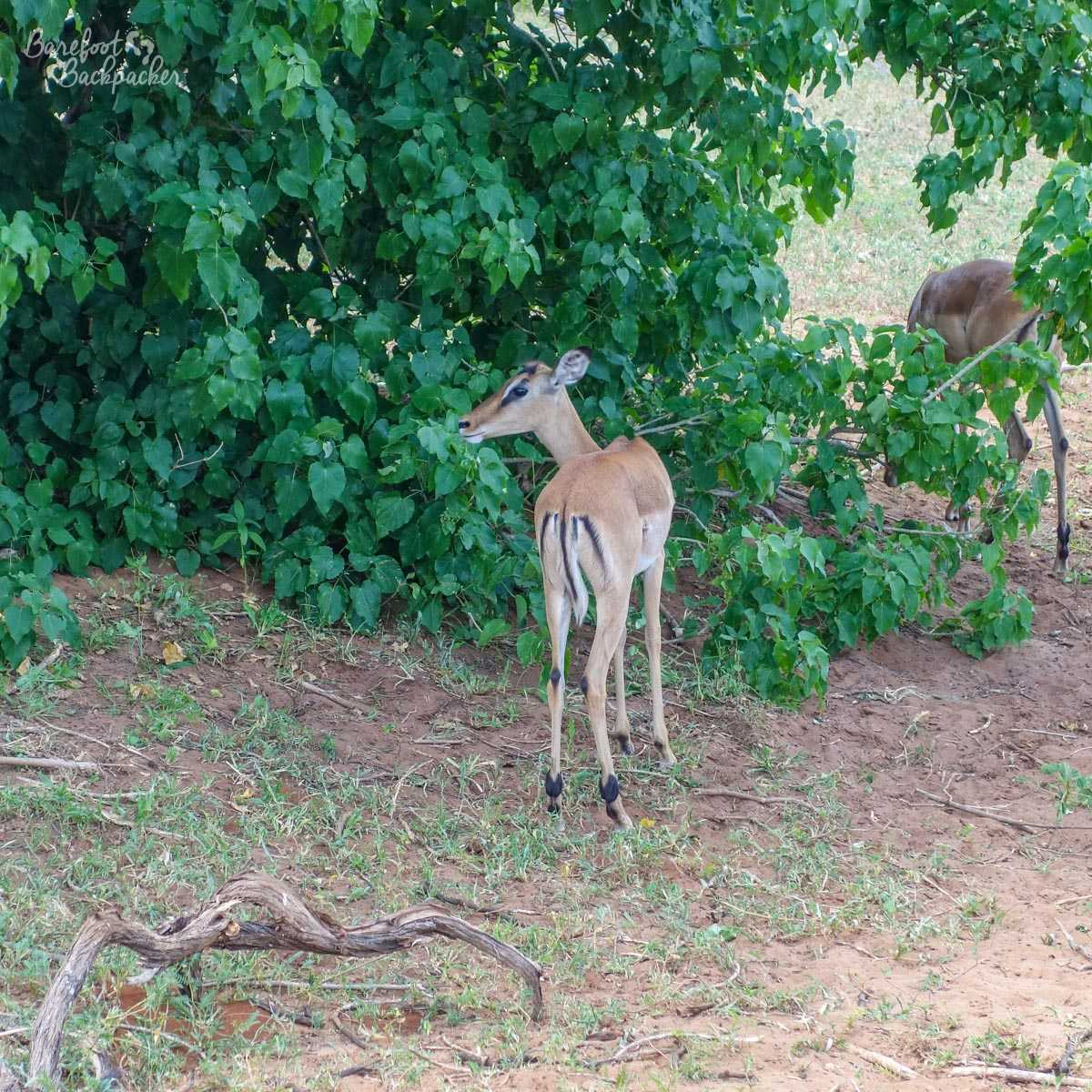 A deer, or possibly an eland or kudu. I've no idea. Probably more commonly known as 'fast food'?