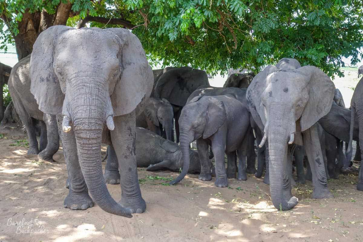 A herd of elephants blocking the road in Chobe National Park