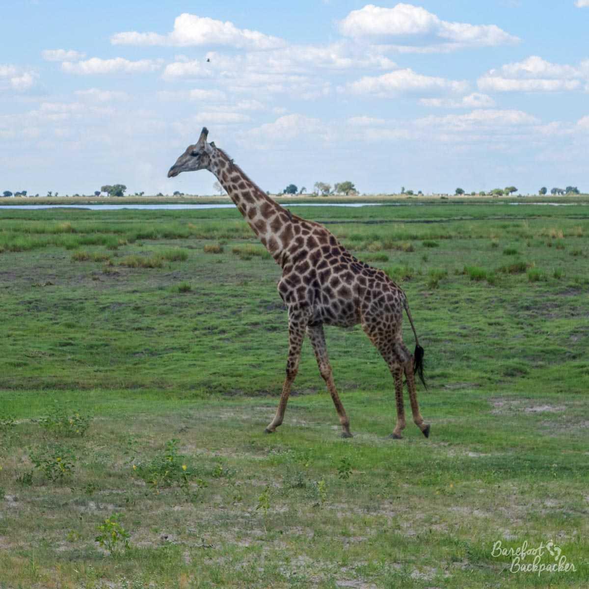 A giraffe, standing on the flatter plains of Chobe National Park.