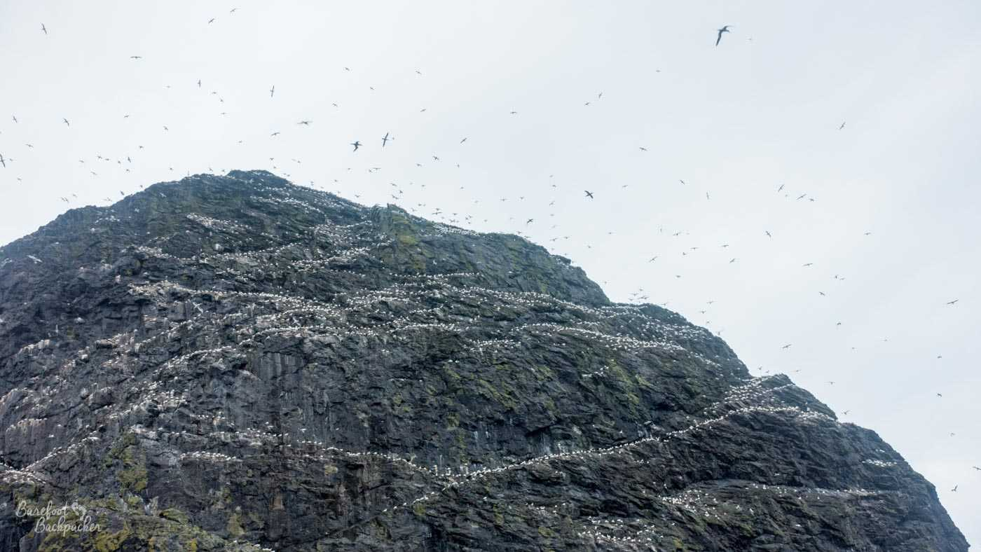 Birds flying around one of the rock stacks of St Kilda. Lots of birds. Alfred Hitchcock would be inspired.