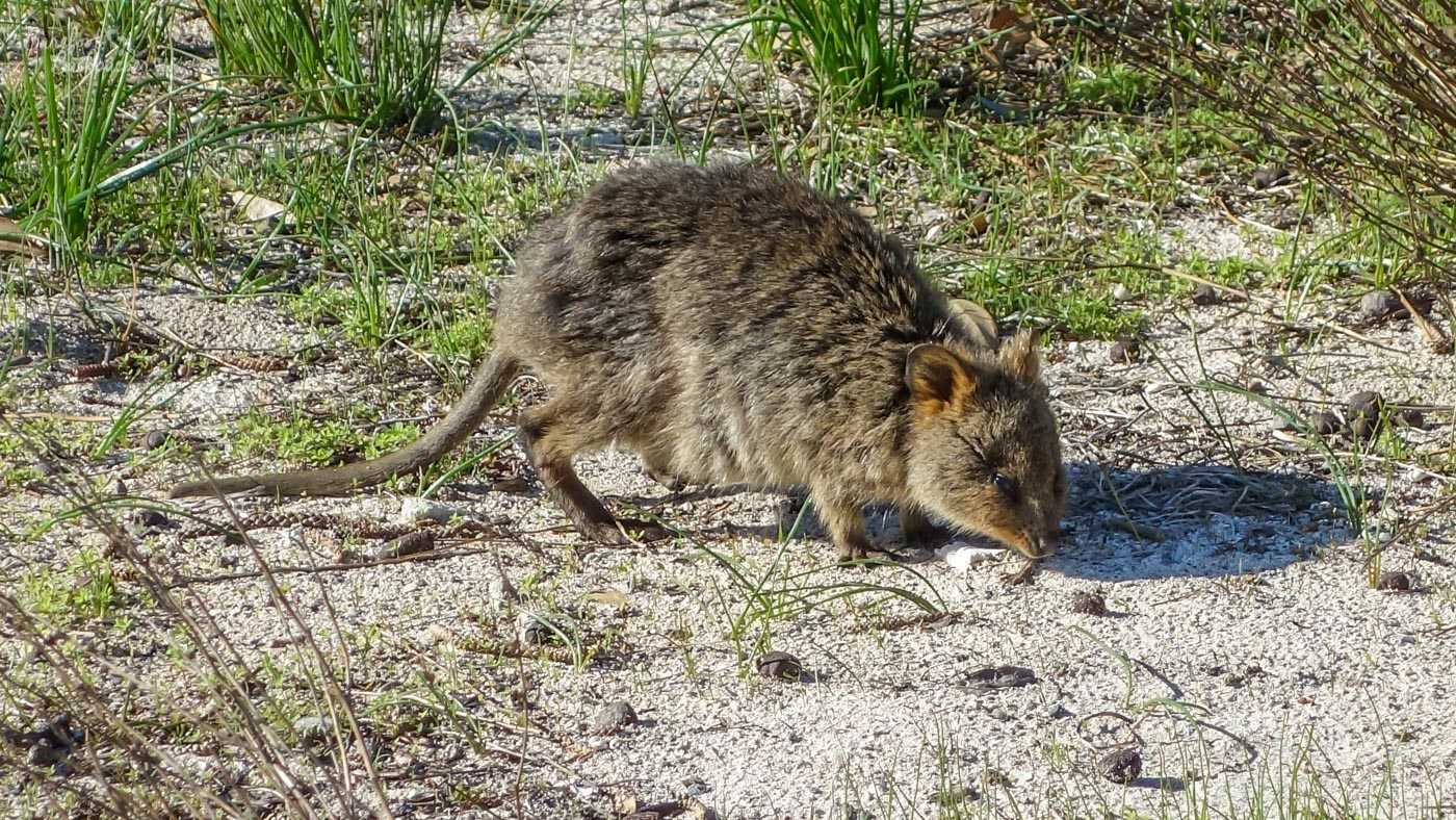 A quokka in its more natural environment, poking around in the grasses in the centre of the island.