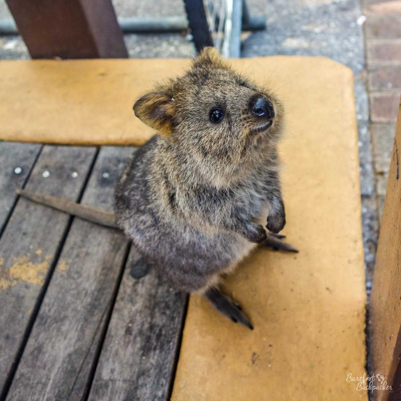 A quokka stands on a table in Rottnest Island (in fact just outside a shop near the port, but you can't see that on the image). It is looking expectantly in front of it, towards the right of shot. No idea what it's expecting.