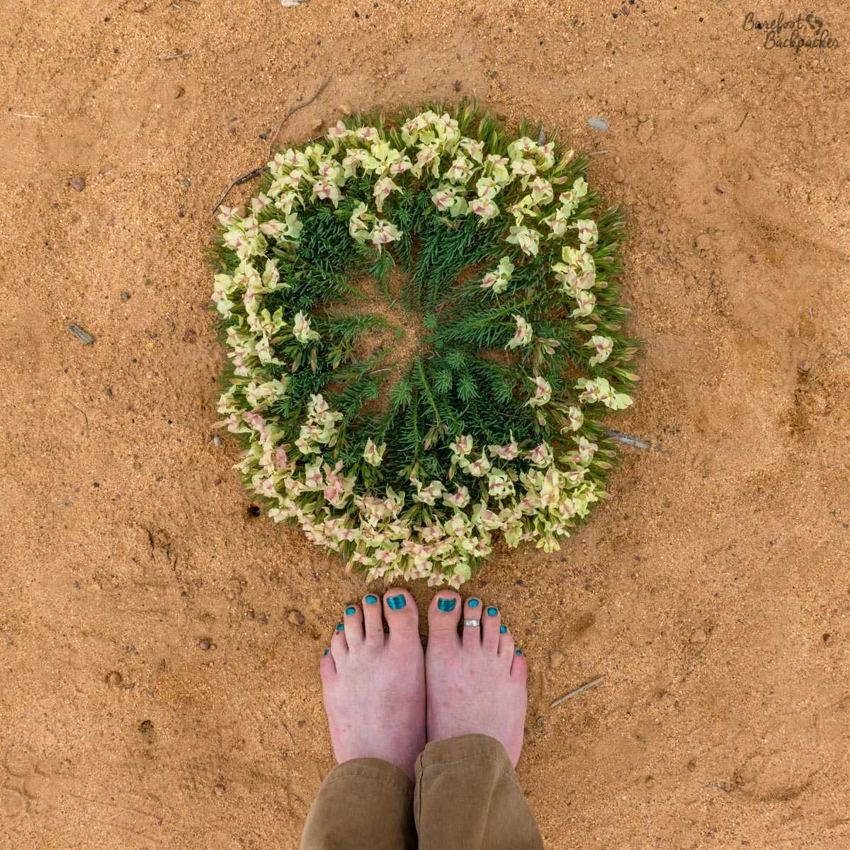 Everlastings / Wildflowers – here in a wreath pattern, as seen on the roadside at Pindar. A pair of bare feet provided for size reference.