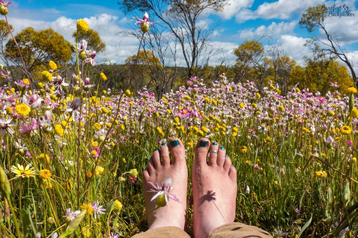 Everlastings / Wildflowers in Western Australia, here with a pair of bare feet getting in the way. Because I'm a barefoot hippie.