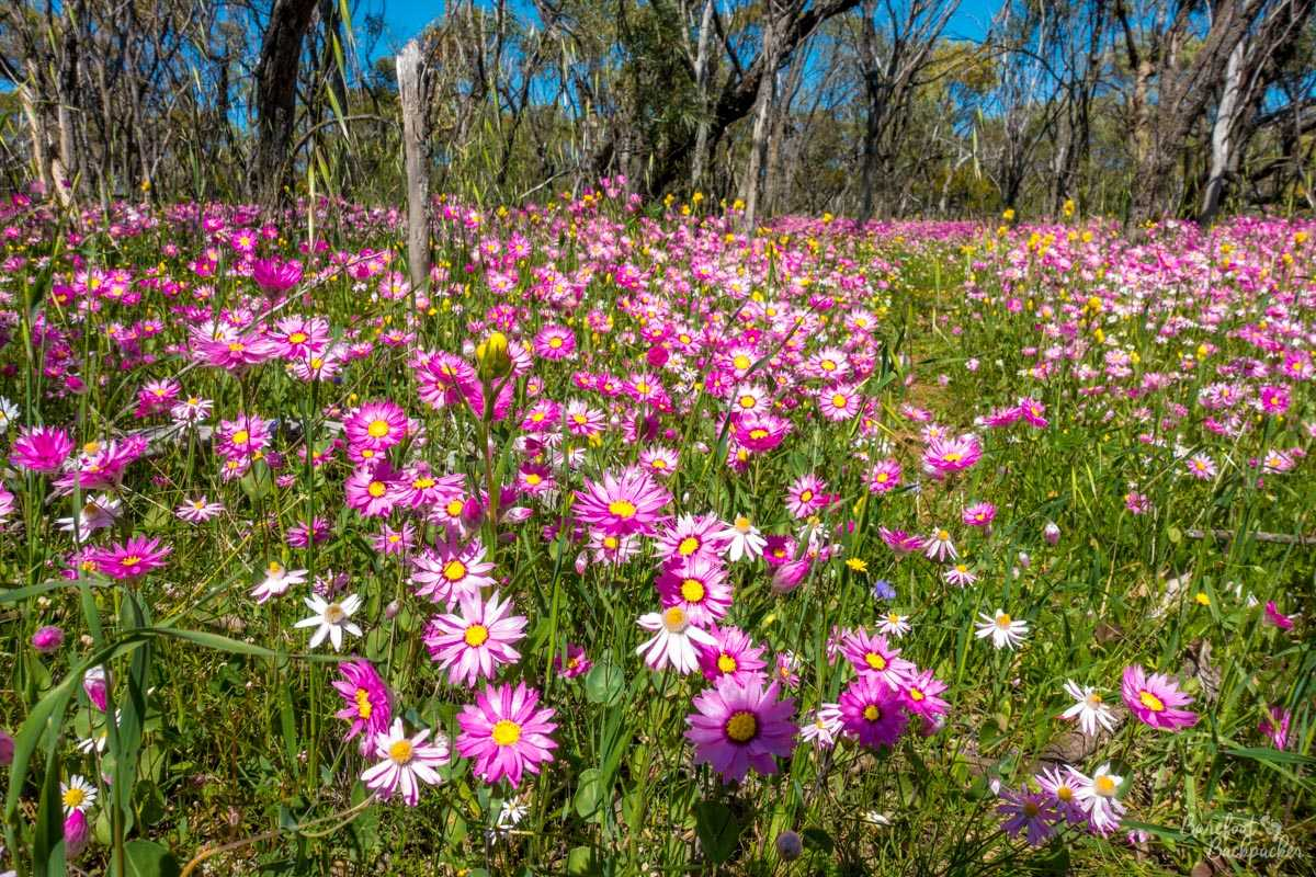 Close-up in a field of Everlastings / Wildflowers, by the side of a road in Western Australia.