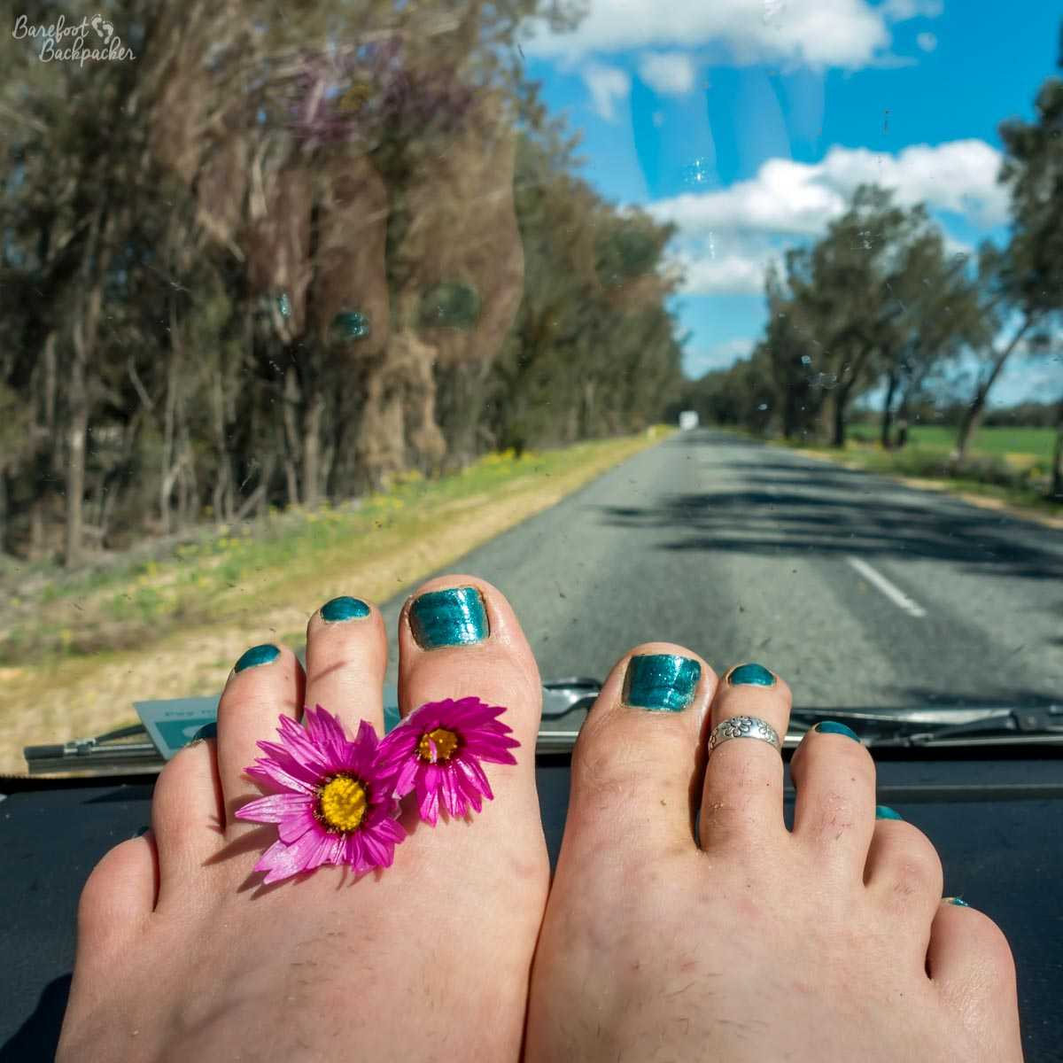 Bare feet on the dashboard of a car, driving through Western Australia. The toenails are painted in a kind of teal shade, and between the toes are a couple of pink wildflowers with yellow centres.