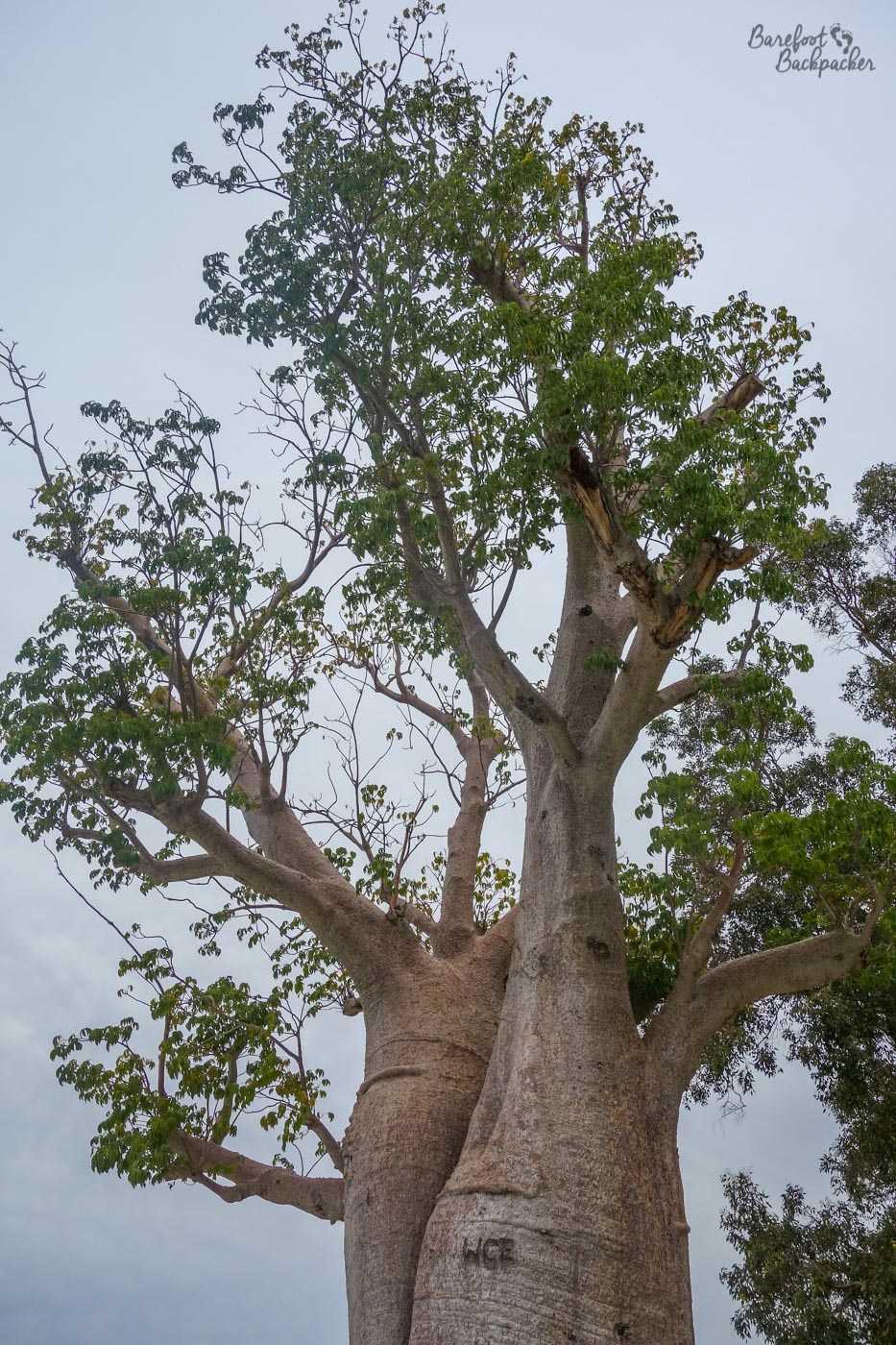 The boab tree, King's Park