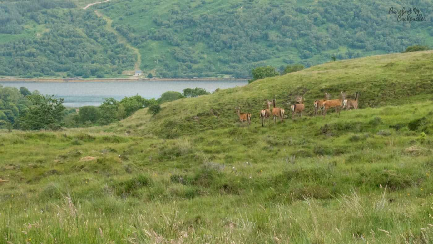A gaggle of red deer on a hilltop somewhere in the distance, hard to see. There's a loch behind them.