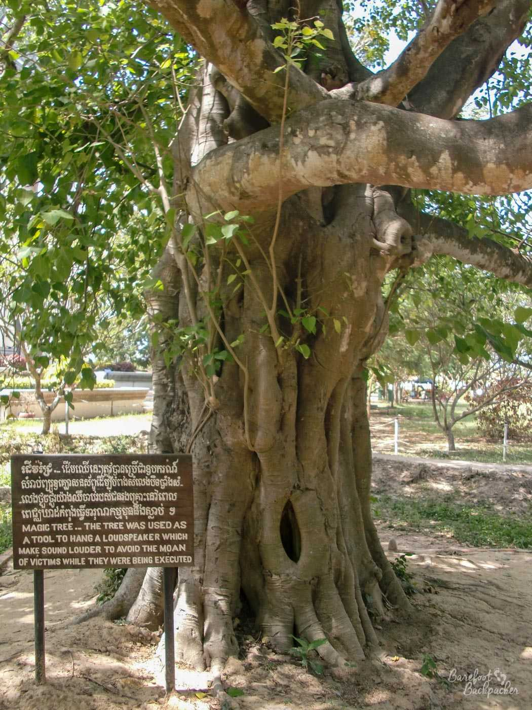 A large tree with a thick trunk, and lots of leaves and equally thick branches coming off in multiple. By the side of the tree is a sign that says 'Magic tree … the tree was used as a tool to hang a loudspeaker which make (sic) sound louder to avoid the moan of victims while they were being executed'.
