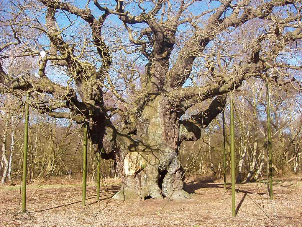 The 'Major Oak' tree in Sherwood Forest – one of the largest and most important trees in English mythology. It's here that Robin Hood and his Merry Men are said to have used as a meeting spot. A bucket list place for many, or even a tree list spot?!