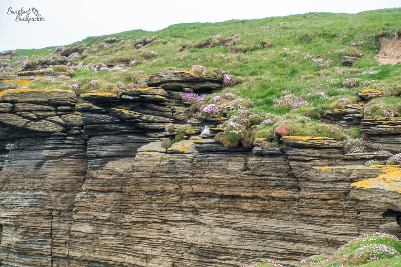 Close-up of the cliffs on Westray. The lines of the rock can be seen, as can the sheer verticalness of the cliff edge. Above the rocks is grass, shrubbery, and some purple flowers on a steep slope. In the center of the shot, on top of one of the flat rocks that make up the cliff, is a bird.